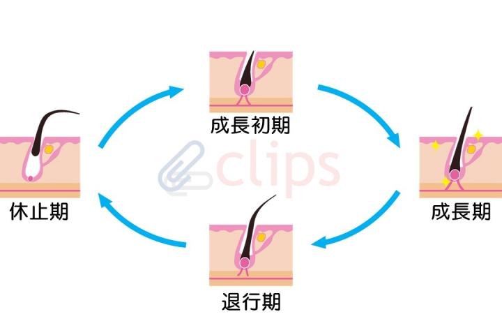 clips-毛周期